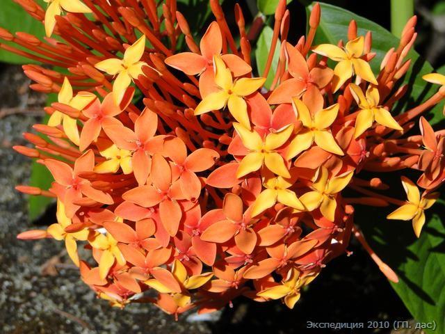 Дикие цветы, которые любит Шри Лакшми