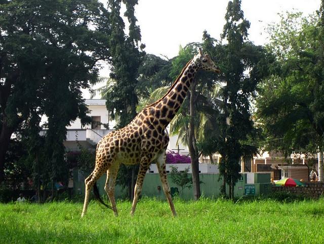 «Зью» – то есть, Майсорский зоопарк…