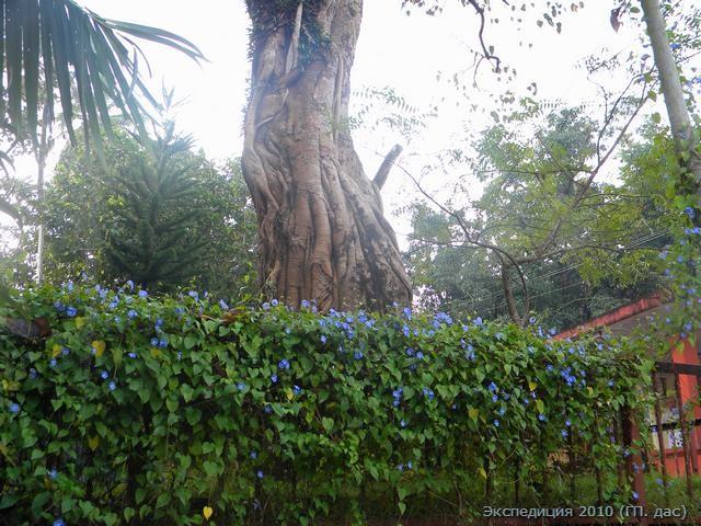 Божественное дерево Пипал, осененное цветущими лианами