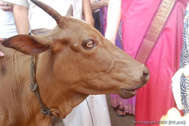 Эта корова здесь ест только спелейшие бананы, а шкурки выплевывает, и глаза её вращаются от блаженства, предположительно, что молоко её также несет аромат бананов!